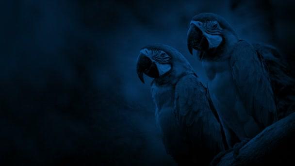 Papoušek papoušci na větvi v noci