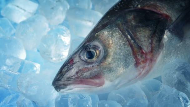 tengeri sügér, a jégen