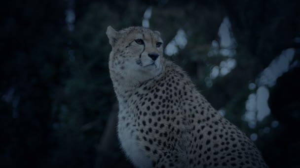 Gepard, rozhlédl se kolem sebe večer