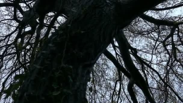 Ijesztő öreg fa hajlított csomagtartóval mozgó lövés