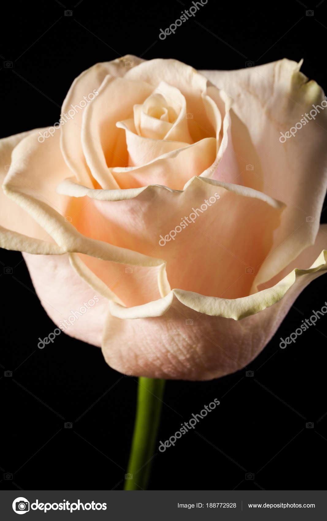 Foto Artistica Di Una Rosa Bianca Su Sfondo Nero Foto Stock