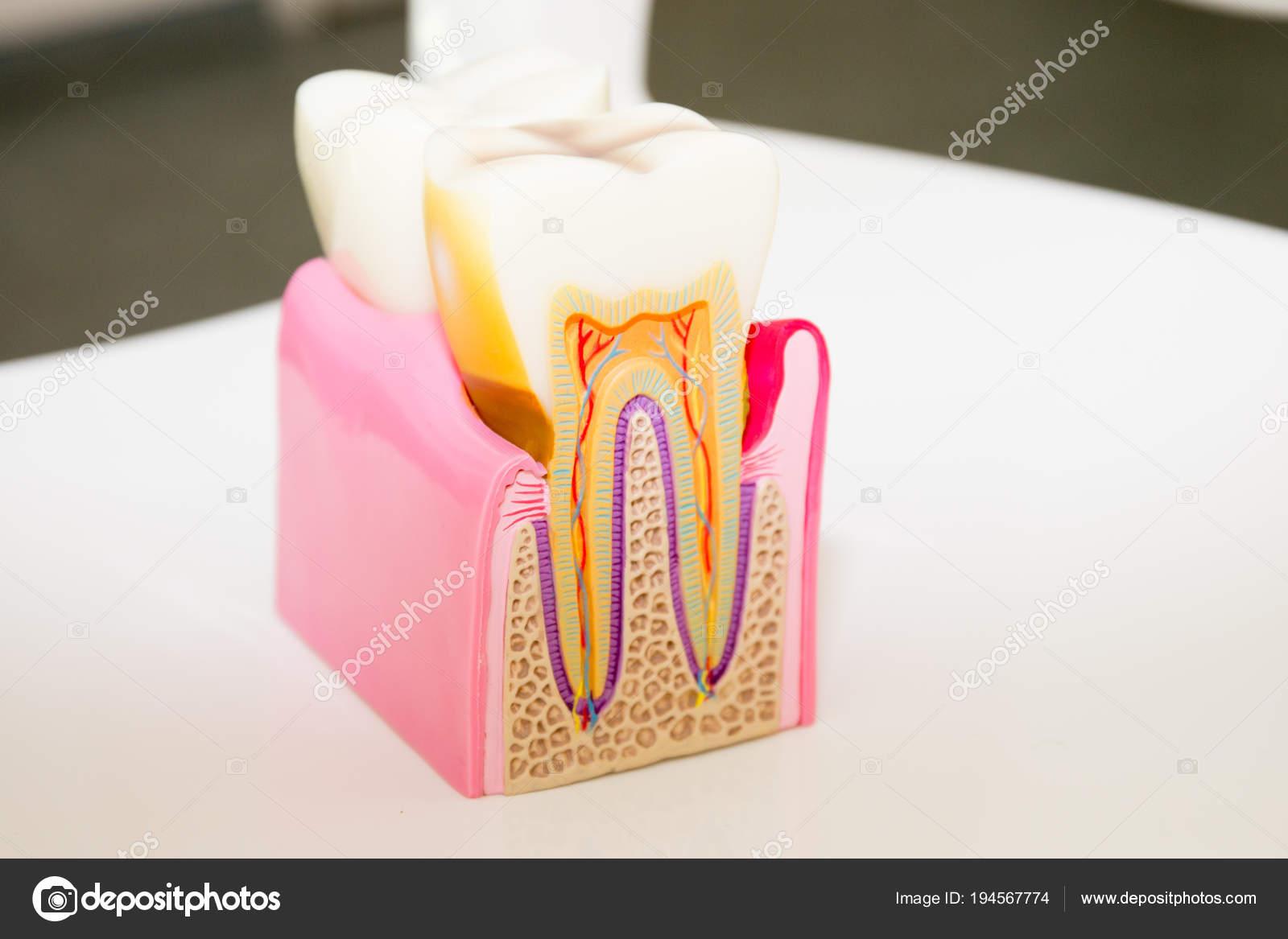 Anatomía Dental Modelo Concepto Dentista Diente Corte Transversal ...