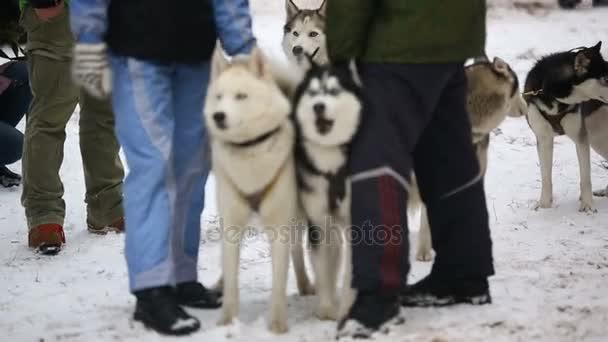 Soutěž psím spřežením v zimě