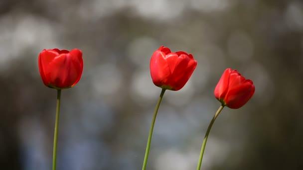 Tulipány zblízka