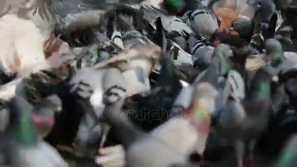 Flock of pigeons is feeding