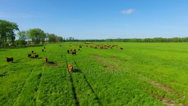 Dobytek Limousin na hřišti