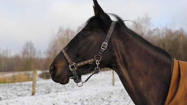 Koně na louce v zimě