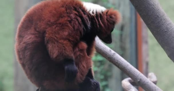 Red ruffed lemur on a branch in a zoo