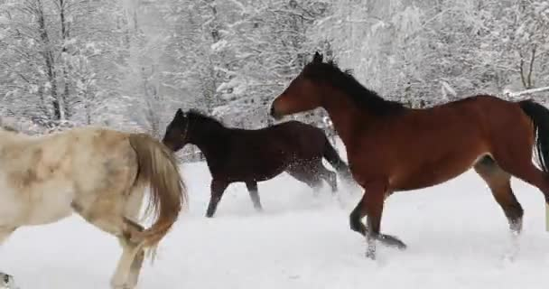 Horses are running on the snowy meadow in cold winter
