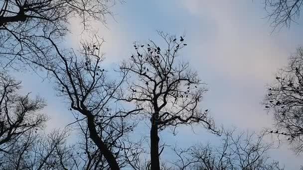 Nyáj varjak fa tetején