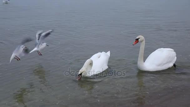 Schwarm Schwäne am Ufer, Frühlingszeit