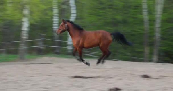Strong horse is galloping on the meadow in evening