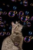 Kočka s mýdlovými bublinami na černém pozadí, samostatný