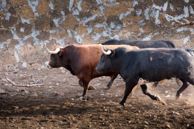 Bulls running in a cattle raising ranch in mexico in a cattle ra