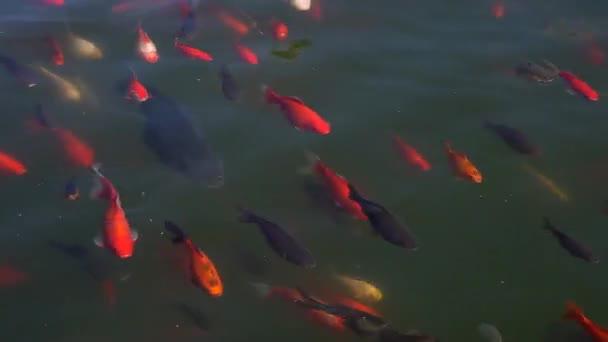 Koi ryby, ozdobný kapr ryb koupání v rybníku.