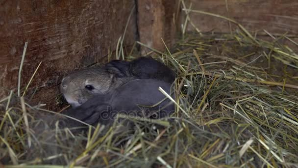 Newborn rabbits in the nest.
