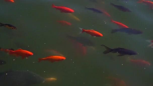 Koi ryby, ozdobný kapr ryb koupání v rybníku .