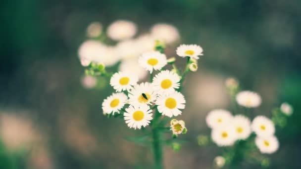 Krásné chamomiles kvetou v zahradě a houpat se ve větru