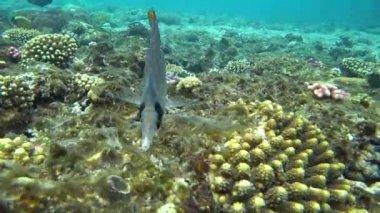 Raccoon butterflyfish in Red sea, Egypt