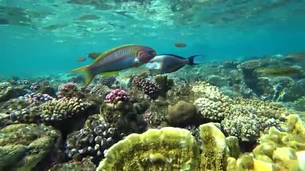 Pyskoun Klunzingers plave přes rámeček na pozadí korálů