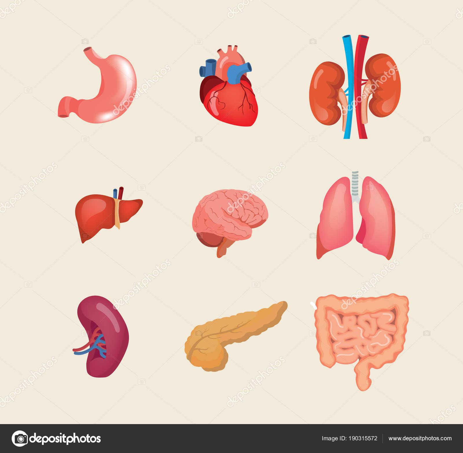 Establecer órganos humanos realista. Cuerpo de anatomía, biología ...