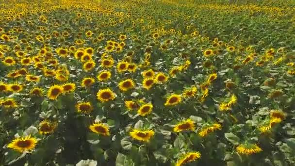 spousta slunečnice