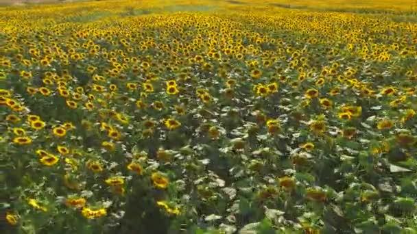 žlutá slunečnicová pole