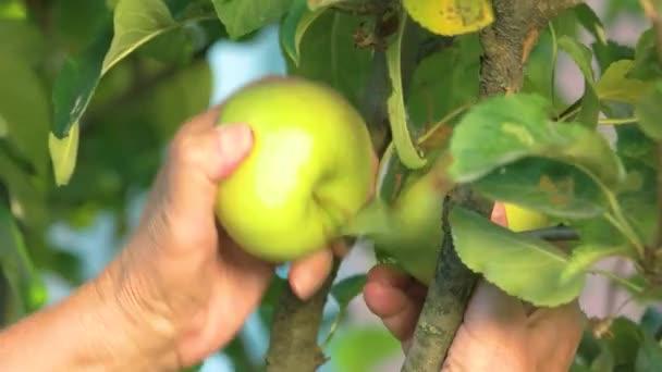 Female hands picking apples.