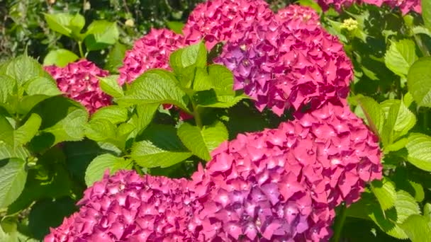 Beautiful pink hydrangeas.