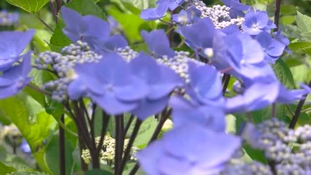 Világos lila Hortenzia makró.