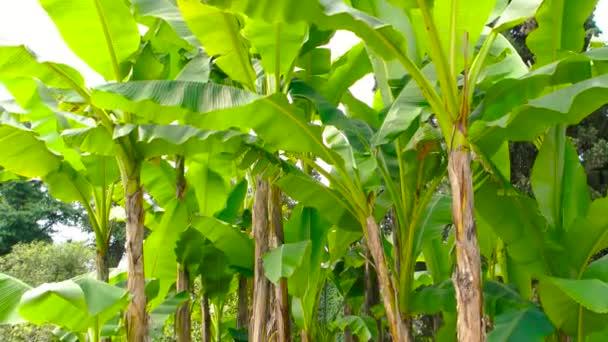 Banda banánovníky