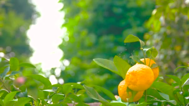 Ripe tangerines on the branch.