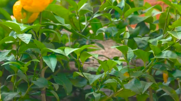 Ripe tangerines on tree branch.