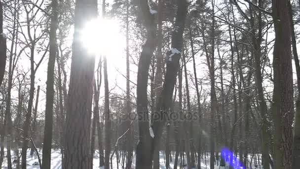 borový les v zimě