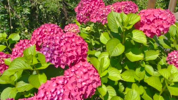 Bright pink hydrangeas.