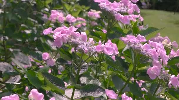 Pink hydrangeas and sunlight.
