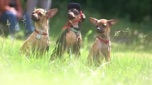 Két három chihuahuas csinálnak előrelépés.