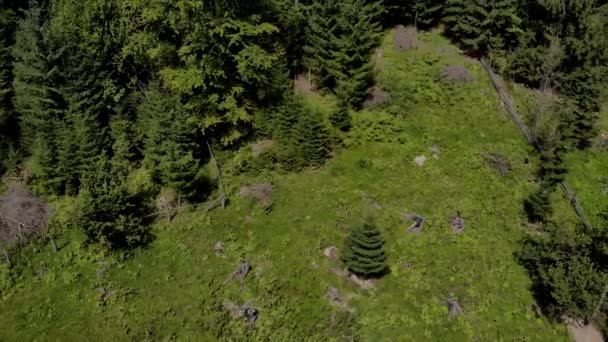 Spruce forest on a slope of Carpathian mountains.
