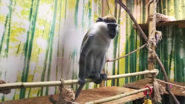 Vervet majom egy állatkertben egzotárium.