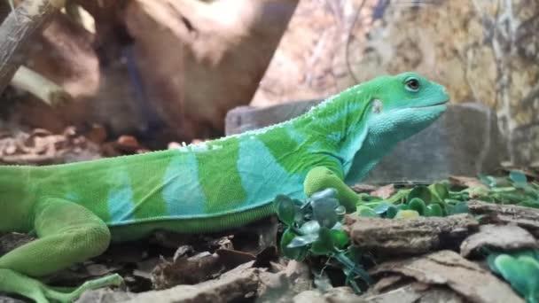 Úžasný pruhovaný dvoubarevný ještěr, boční pohled.