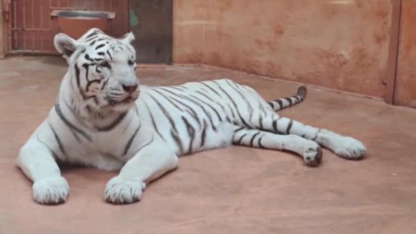 Ležící bílý tygr ve voliéře v zoo a olizuje si rty.