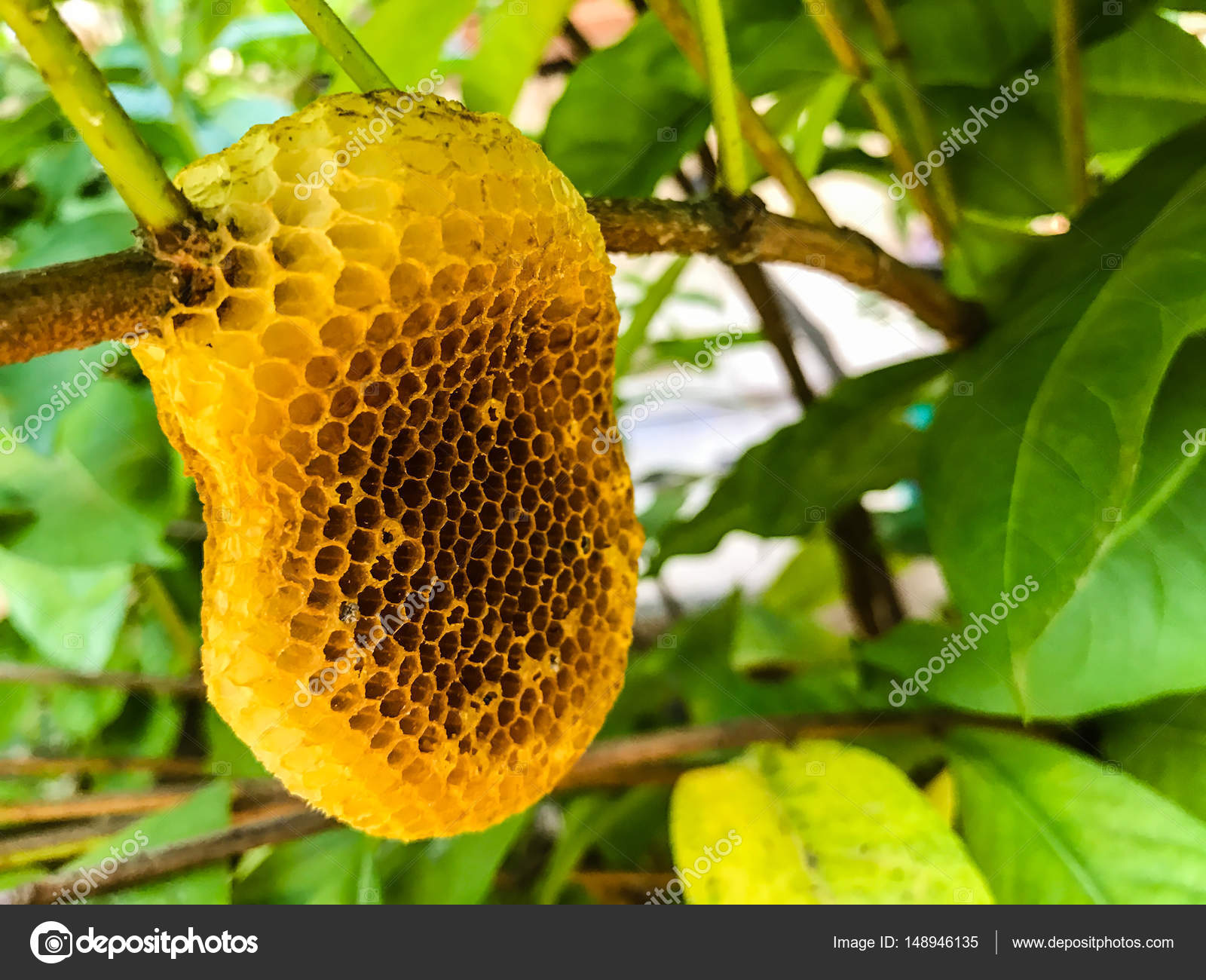 Image: Honeycomb on tree branch — Stock Photo © madozi #148946135