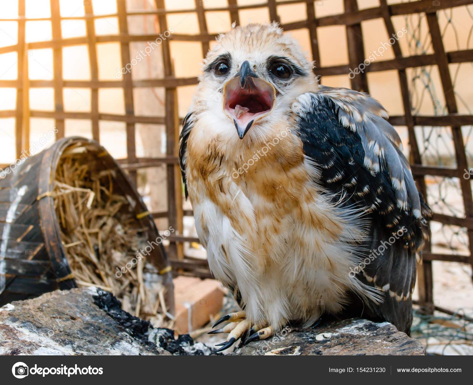 retrato de pássaro falcão fotografias de stock madozi 154231230