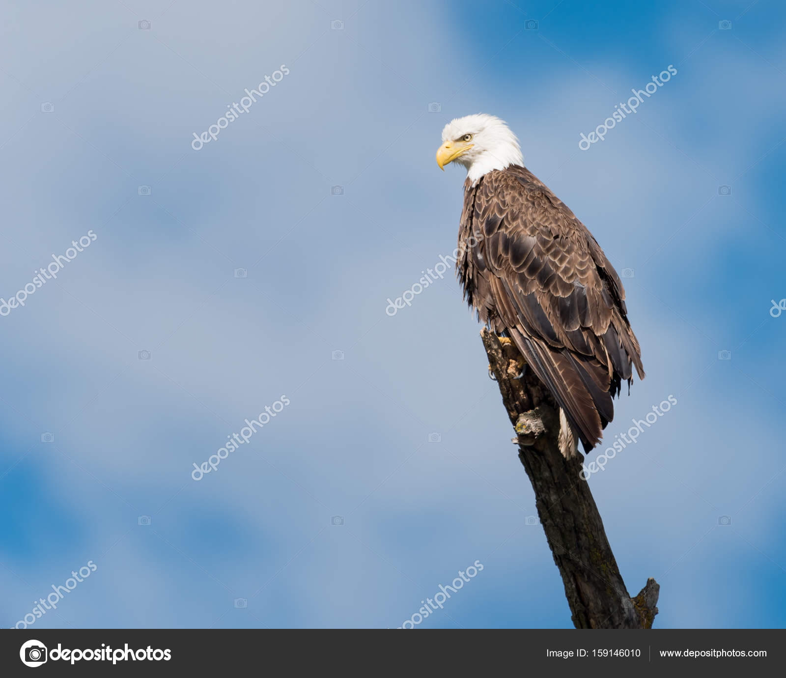 bald eagle perched on branch stock photo rruntsch 159146010