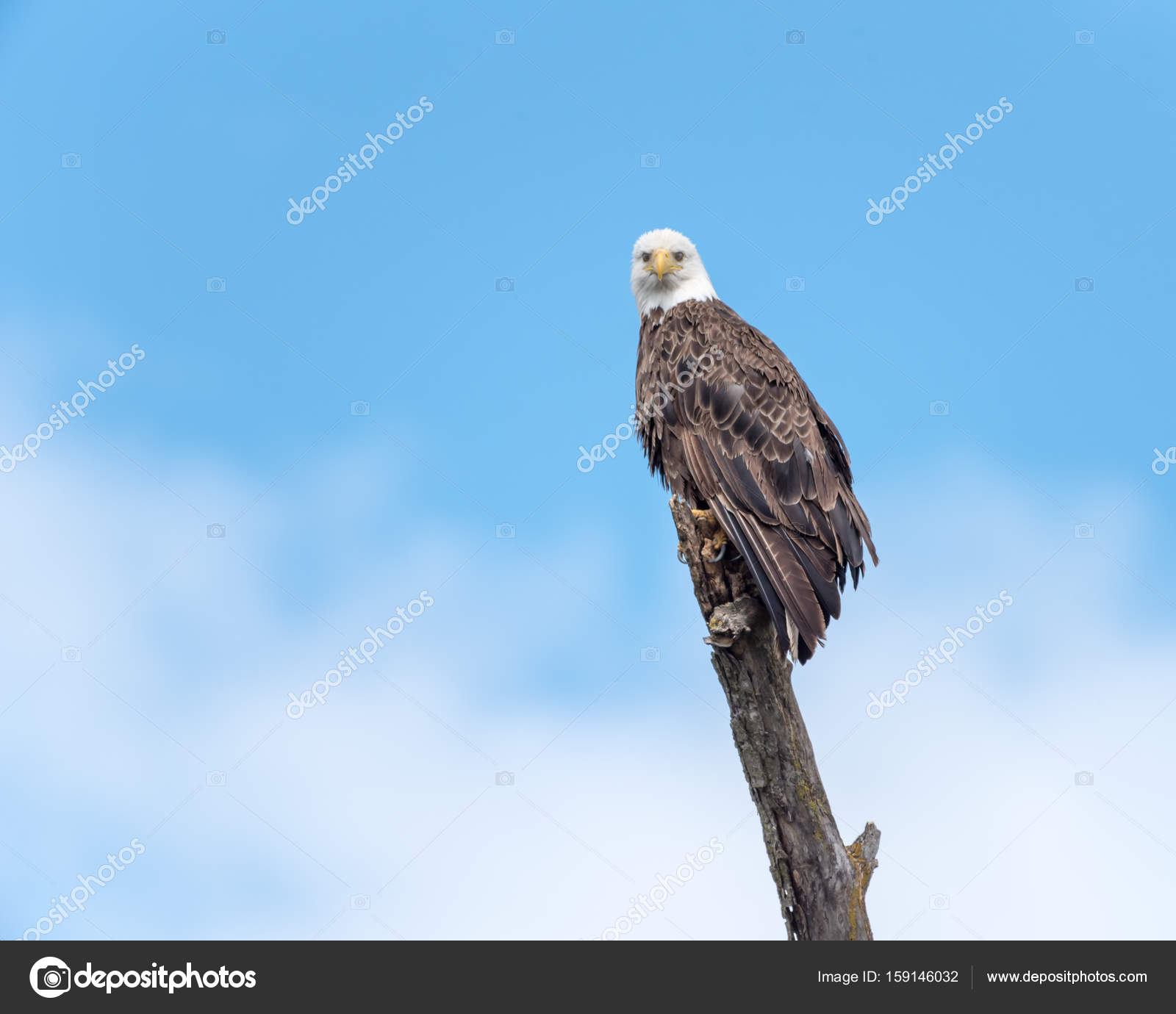 bald eagle perched on branch stock photo rruntsch 159146032