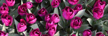 Background of blooming tulips. Emirgan Park. Istanbul, Turkey.