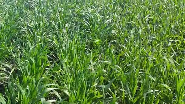Pšenice se kymácí ve větru