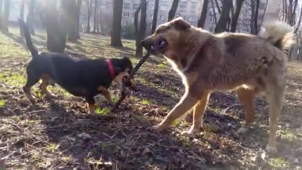 Dogs play with a stick