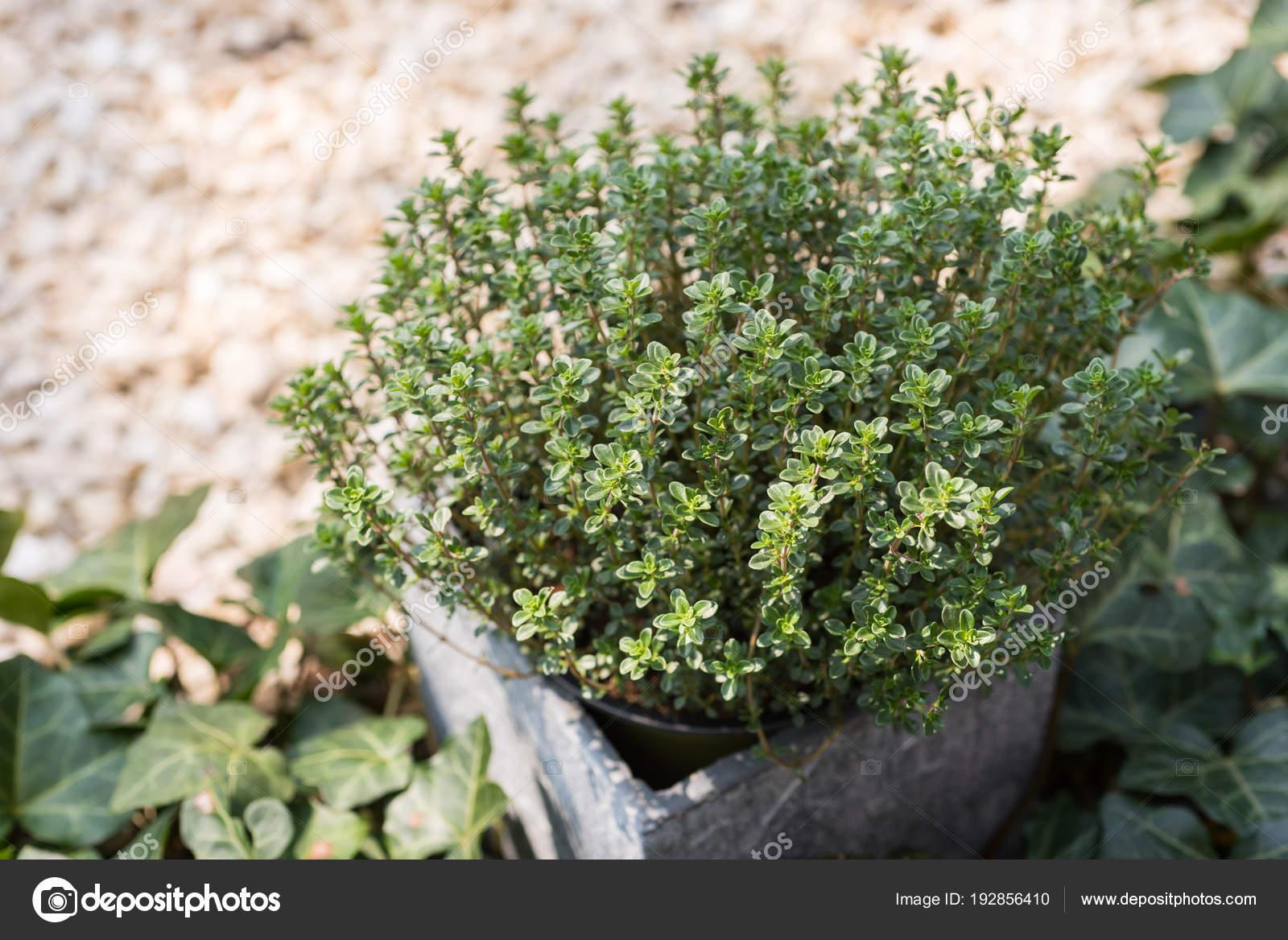 Timo limone in un vaso di pietra in un giardino di pietra con l