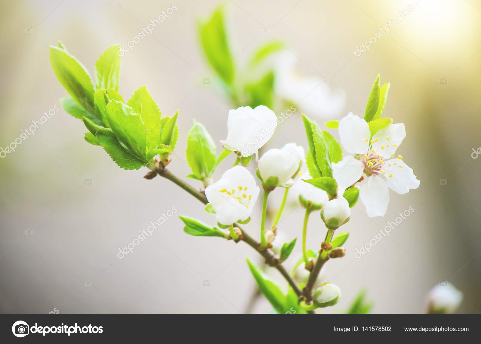 Flowering Trees White Flowers In The Spring Selective Focus